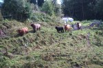 Galloway cattle coming to greet us