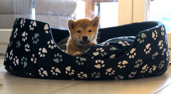 Our new family member Haruki the Shiba
